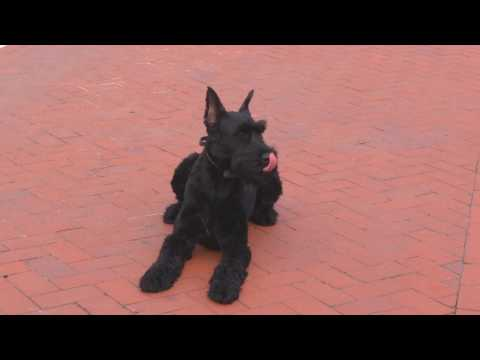 "Super Giant Schnauzer ""Yanis"" 14 Mo's Amazing Obedience Powerhouse Protection Dog For Sale"