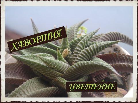 """Хавортия СУККУЛЕНТ. """"Haworthia succulent""""  ЦВЕТЕНИЕ и уход. Комнатное растение.ДОМИНИКАНА"""
