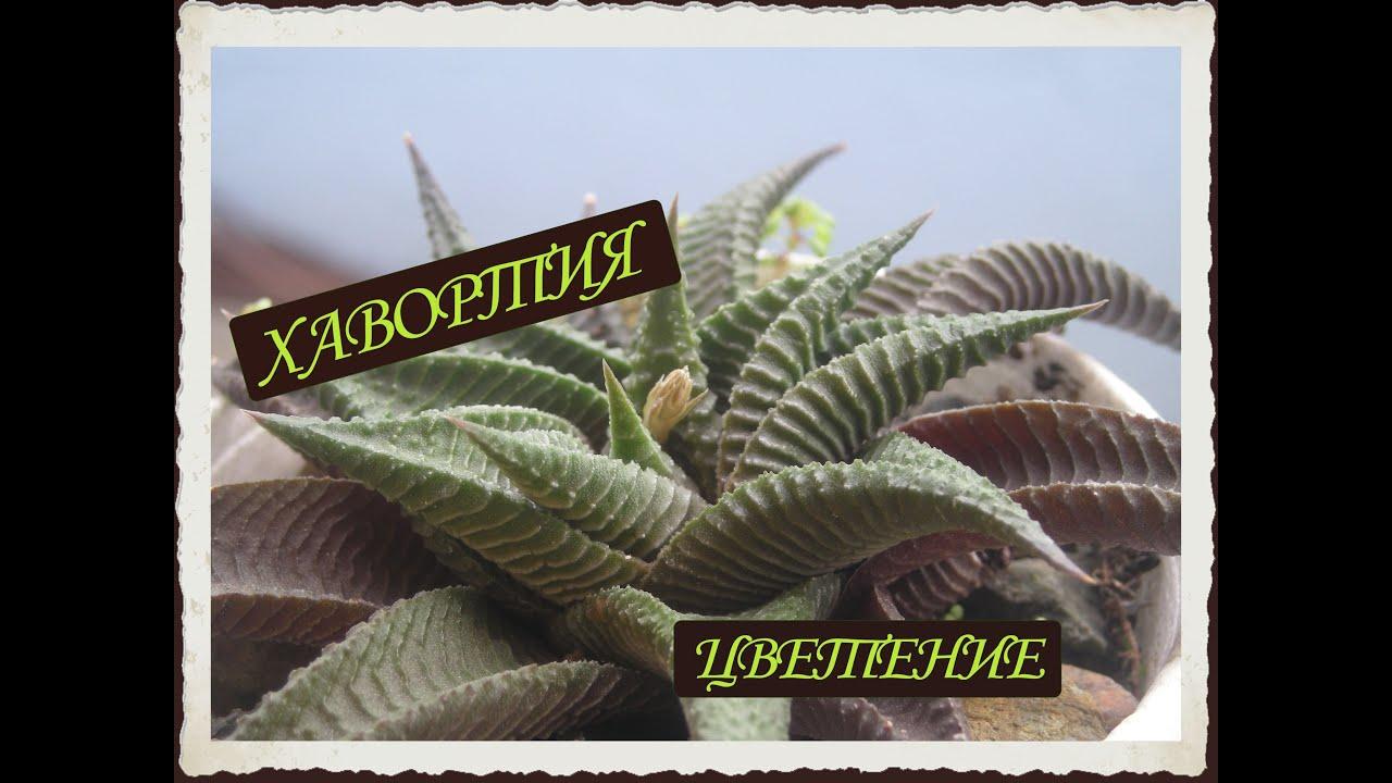 хавортия цветок фото