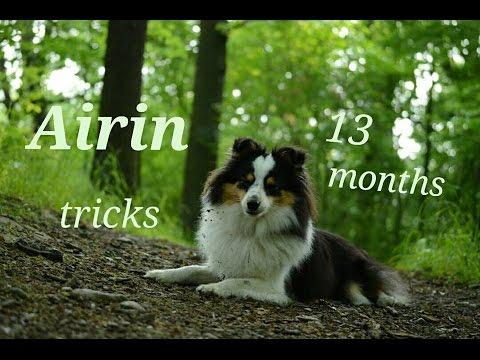 Sheltie Airin | Amazing dog tricks in 13 months!