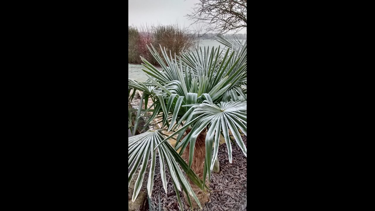 Trachycarpos mit erstem leichten Frost