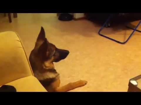 German Shepherd Dog and funny home videos