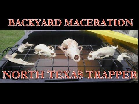 Skull Maceration: A Simple Backyard Setup