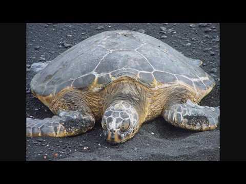 Green Sea Turtles at Black Sand Beach - Pahala, Big Island, Hawaii