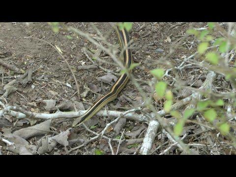 Texas Patch-nosed Snake. Laguna Atascosa NWR.