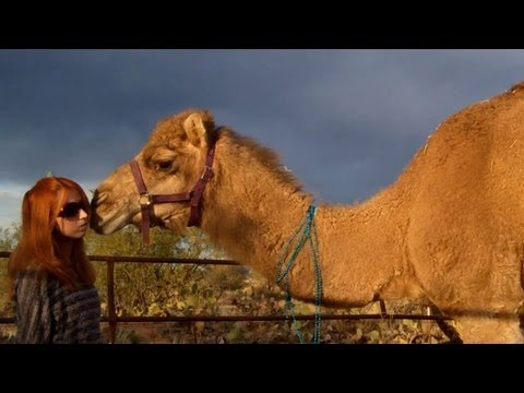 How to celebrate a camel's birthday