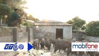 Độc đáo nuôi lợn rừng 'theo kẻng' | VTC