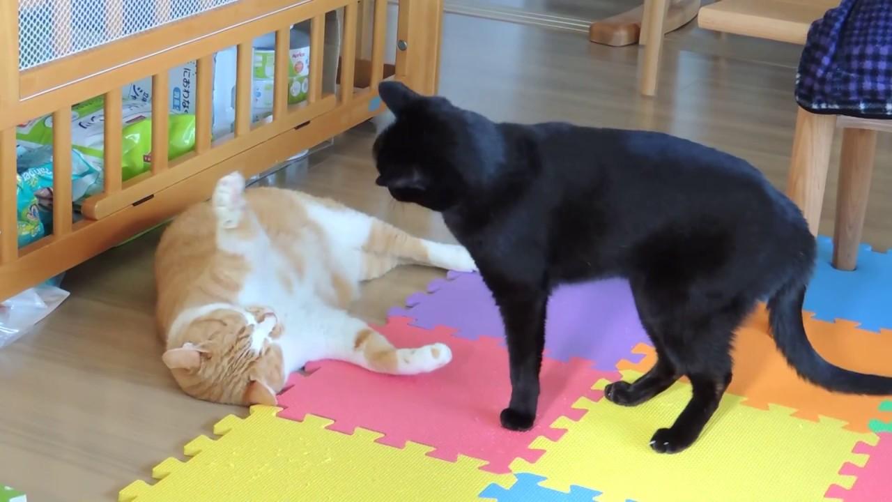 子守り猫となまけ猫 baby sitter cat vs lazy cat youtube