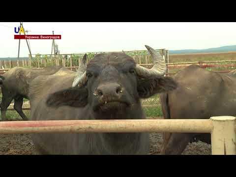 Ферма карпатских буйволов