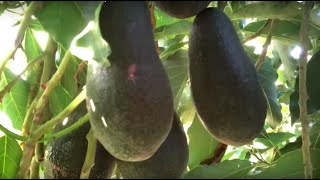 Growing Avocados in the Central Valley