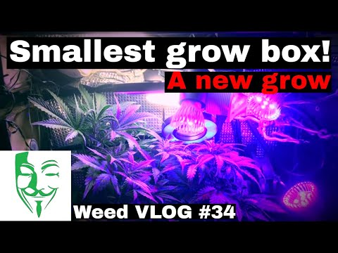 Micro grow: from GERMINATION to flowering stage, Royal Cheese LED and CFL GROW BOX #34