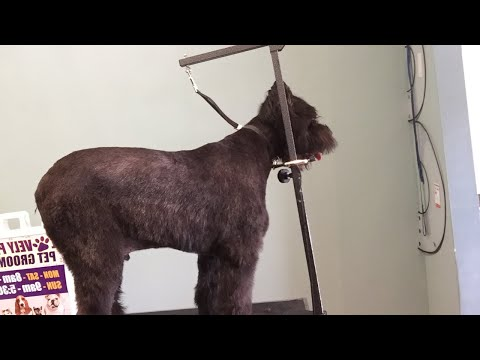 how to groom a bouvier des flandres: video 3 of 3