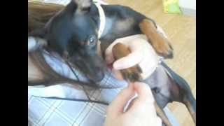ミニチュアピンシャーの男の子プーくんは 授業中に爪切りの練習をすると...
