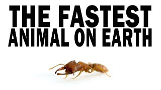 The Fastest Animal on Earth: the Snap-Jaw Ant