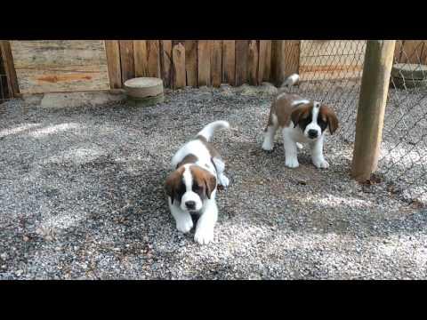 Filhotes de cães da raça São Bernardo