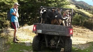 ある夏の日、放牧されたヒツジの群れを山に探しに行き、移動させるのに...