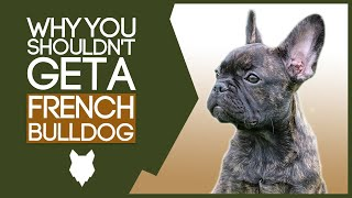 FRENCH BULLDOG! 5 Reasons you SHOULD NOT GET A French Bulldog Puppy!