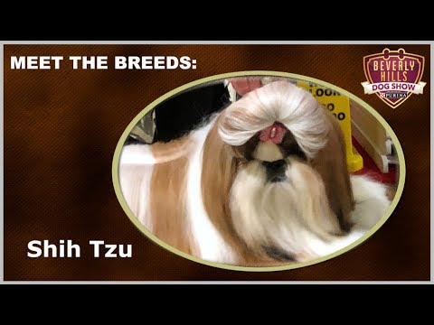 The Beverly Hills Dog Show: Meet The Breeds - Shih Tzu