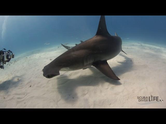 Hammerhead Dive Bimini, Bahamas