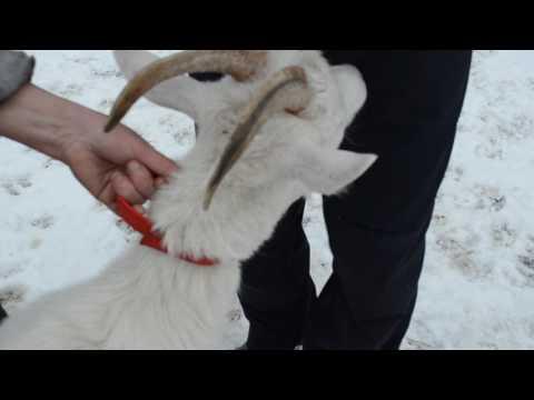 Удаление рогов взрослым козам