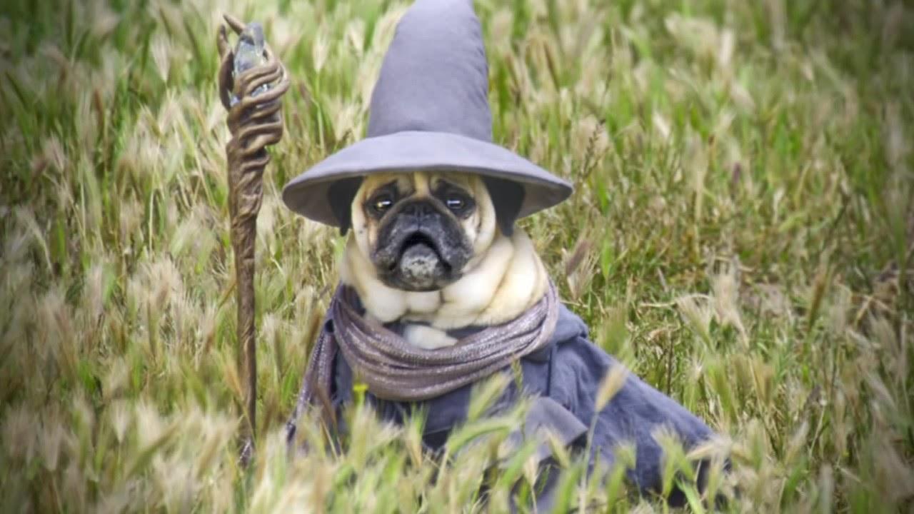 The Wise Gandalf Pug. - YouTube