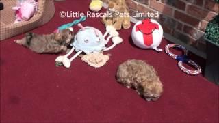 Little Rascals Has A Litter Of Shih Tzu Puppies