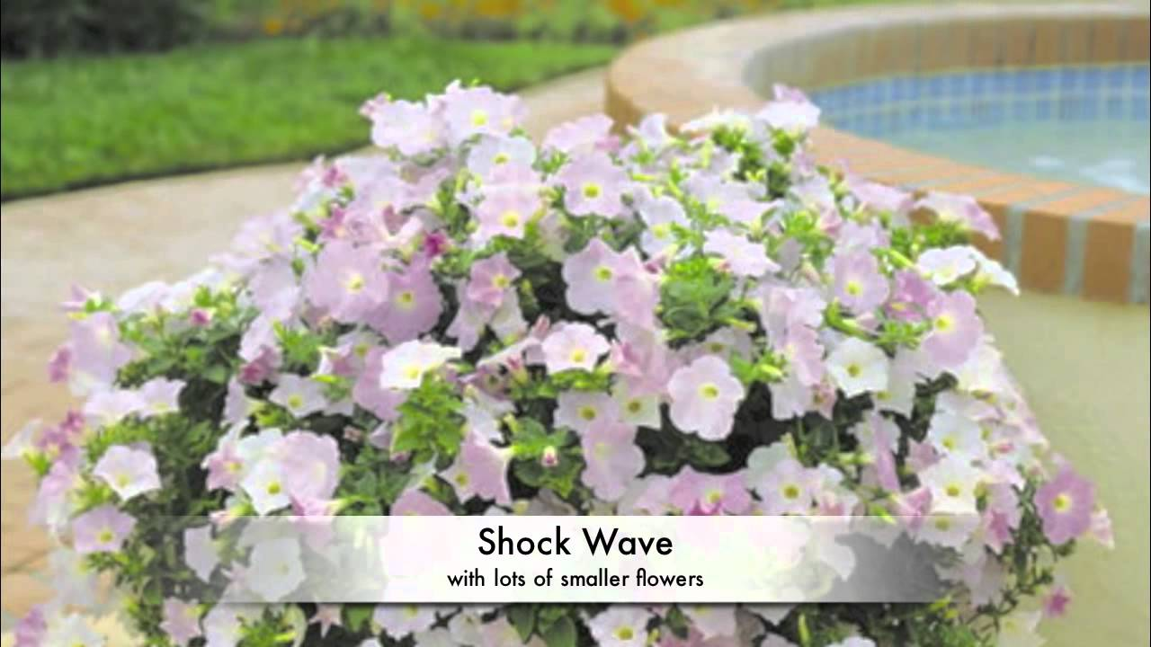 Wave® Petunia - All About Color - YouTube