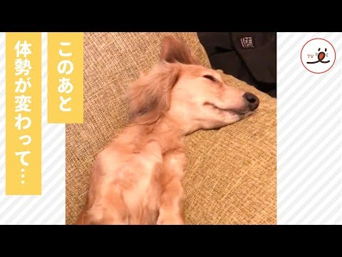 ユニークな寝相に二度見しちゃう😳 ソファの隅っこでくつろぐワンコ🐕 【PECO TV】