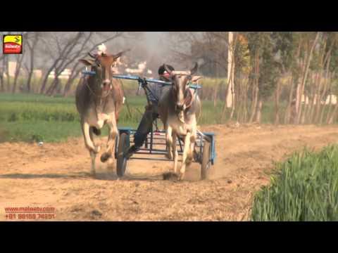 SALALA   NANGAL   KHOJKIPUR (Jalandhar) ! ਬੈਲ ਗੱਡੀਆਂ ਦੀਆਂ ਦੌੜਾਂ    BULLOCK CART - 2016 !  Full HD  