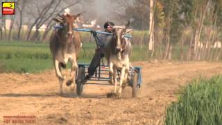 SALALA | NANGAL | KHOJKIPUR (Jalandhar) ! ਬੈਲ ਗੱਡੀਆਂ ਦੀਆਂ ਦੌੜਾਂ  | BULLOCK CART - 2016 !  Full HD |
