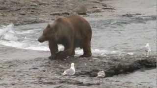 McNeil River Alaska Brown Bear Charge. Monster Trophy Class Brown Bear