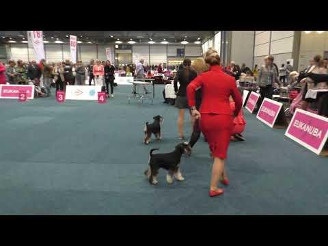World Dog Show 2017.Miniature Schnauzer.Female CACIB