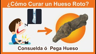 Como curar un hueso roto 🤕,  raíz de Consuelda 🌱 o PegaHueso 🍖
