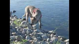 保護犬はっちゃん(秋田犬MIX♂13週齢)が川で遊んでいます。 ひと...