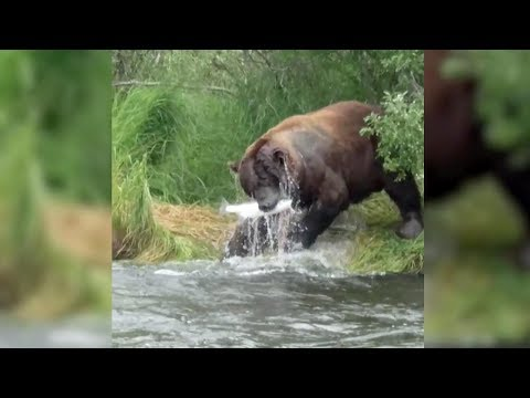 Download Youtube: Dinner is ready! Bear snags fish in Alaska's river