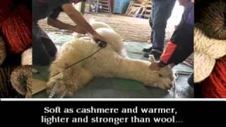 Alpaca Shearing & Fiber Processing