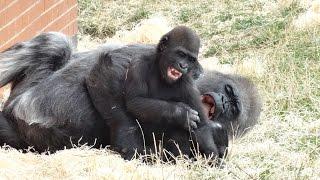Baby Gorilla Playing