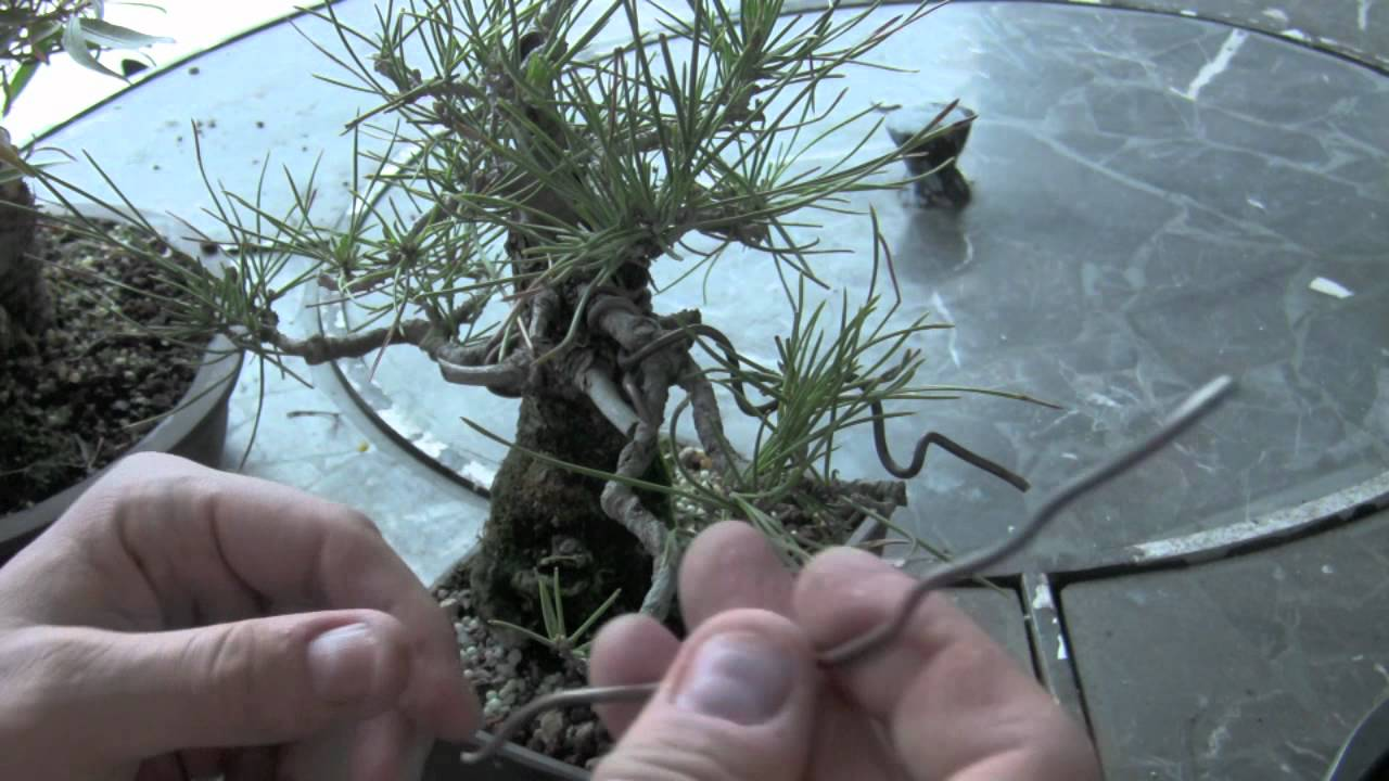 How To Bonsai Wire Removing Youtube Wiring Seedlings