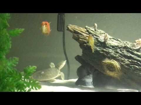 Beautiful Florida Soft shell Turtle & Cichlid tank.