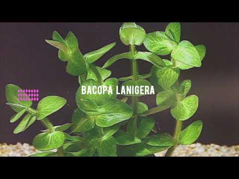Akvared Akvaryum Bitkileri - Bacopa lanigera