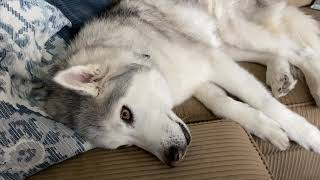 Stubborn Husky received bad news and throws tantrum