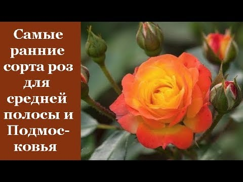 ❀ Самые ранние сорта роз для средней полосы и Подмосковья