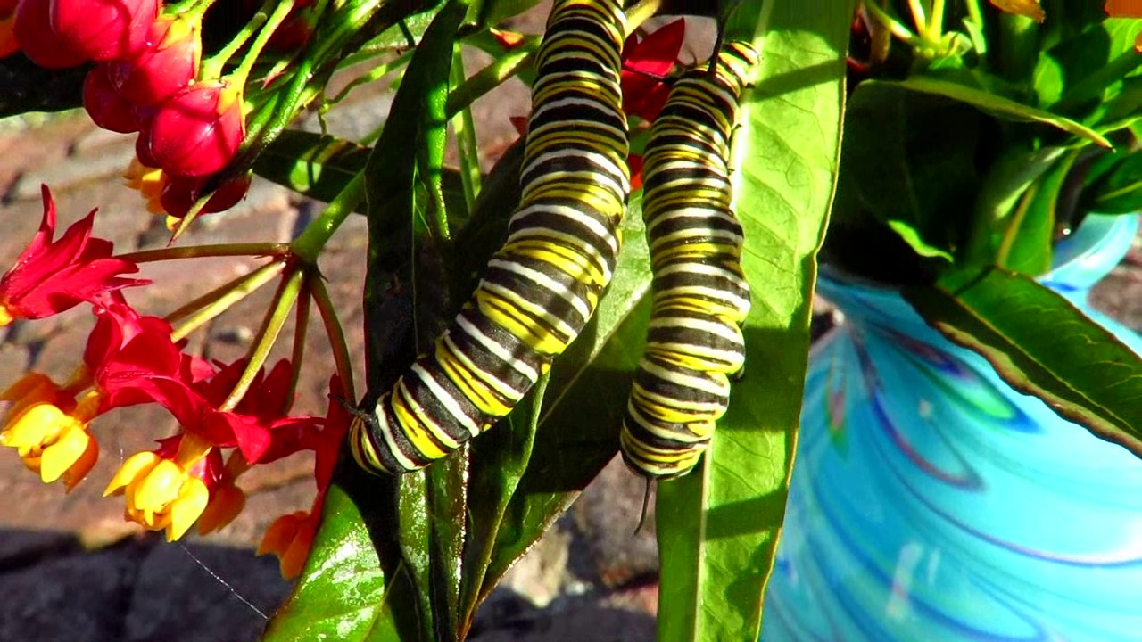 What Big Fat Plump Beauties Monarch Butterfly Caterpillars We Raised From Eggs