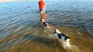 Teaching English Springer Spaniels To Swim