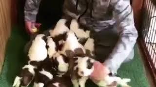 セントバーナードの赤ちゃん11匹と同じ部屋❣️