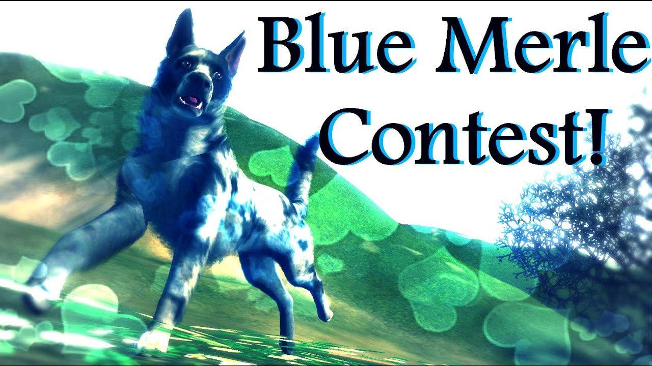Blue Merle Contest ~ Mudi Mix - YouTube