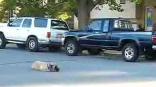 English Mastiff - Beginning Off Leash Obedience Dog Training