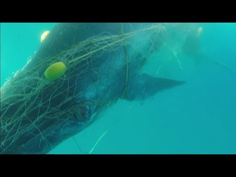 Moment rescuers free baby whale trapped in shark nets off Australia's coast