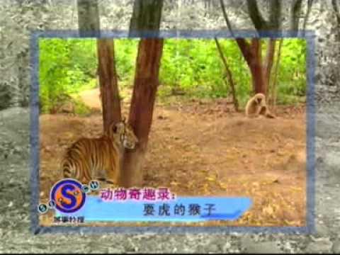 Un singe met des mains au cul à 2 tigres