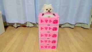 【15秒~萌え】トマトの箱がお気に入りのポメラニアン♪